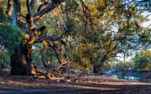 The Big Red Gum Tree, Warrawong