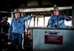 Auction of Pigs, Warwick, QLD